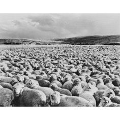Patagonia Herd of 12000 sheep corralled for night Canvas Art - (24 x 36)