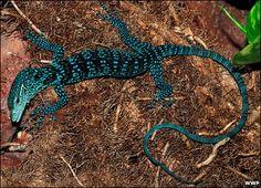 Blue Tree Monitor Lizard | Blue Leopard Inspired Lizard : The Featured Creature