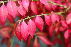 A fiery shrub: Euonymous alatus, also aptly known as 'Burning Bush'. A spreading shrub that offers outstanding autumn colour through its vibrant crimson-pink leaves. Wholesale Nursery, Burning Bush, Pink Leaves, Autumn Garden, Garden Inspiration, Shrubs, Vibrant, Colour, Plants