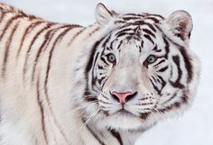 A black and white siberian tiger staring off into the distance with its bright blue eyes.