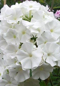 Phlox 'White Sparr'