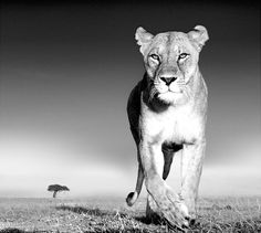 Wildlife photography by David Yarrow