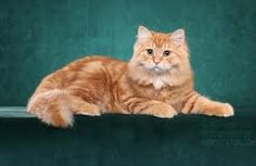 Siberian cat - Google Search This guy is hypoallergenic & orange....yes please