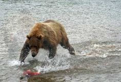 An 1,100 pound coastal brown bear fishing for salmon. These pictures were taken by Steve H's daughter-in-law at the Katmai National Park in Alaska.
