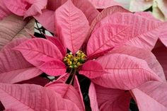 Christmas Joy Pink Poinsettia © 2015 Patty Hankins