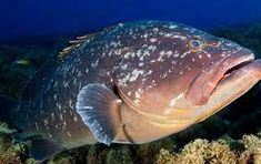 Resultado de imagem para mero peixe Merida, Fish, Animals, Water Animals, Pisces, Animales, Animaux, Animal, Animais