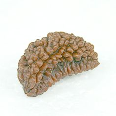 One Mukhi Rudraksha is one of the rarest Rudraksha found in nature. Considered most auspicious, it is said to have been blessed by Lord Shiva himself. Lord Shiva, Blessed, Face, Nature, Naturaleza, The Face, Faces, Natural, Shiva