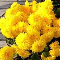 Buy Yellow Marigold Seeds, Chrysanthemum Seeds, 100pcs/pack at onlinebuymore.com! Free shipping to 185 countries. 45 days money back guarantee. Beautiful Flowers Pictures, Flower Pictures, Growing Seedlings, Sansevieria Plant, Bonsai Seeds, Cold Frame, Garden Living, How To Grow Taller, Potting Soil