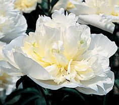 Paeonia Duchesse de Nemours - White Flower Farm... A century-and-a-half after its introduction, this fragrant double remains a standard by which all other white Peonies are judged. Winner of an Award of Garden Merit from the Royal Horticultural Society. Early.    Paeonia like full sun. After blooming, you have a handsome mound of glossy, deep green foliage that will happily anchor the next sequence of bloom in the neighborhood. Superior cut flowers, lasting more than a week if cut in full…