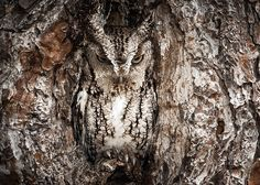 If you never see any owls during the daytime you just might not be looking hard enough. Owls have uniquely colored feathers that contain a lot of speckling and color diversification. This helps them blend into their surroundings perfectly, especially when they close their eyes.