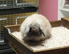 24 Best fuzzy lops!! images   Rabbit, Cute bunny, Bunny