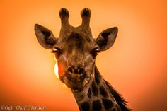 Portrait of a giraffe at sunset by Geir Olaf Gjerden on 500px