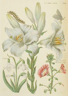 Lis Blanc Droite / par Mademoiselle Marie Sybille de Merian, en deux parties in-folio. Paris : L.C. Desnos, 1771.