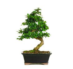 The Fukien Tea Bonsai Trees from Nursery Tree Wholesalers are imported directly from China and display an exotic array of graceful trunk movement and colorful, white blooms. The rough and irregular su