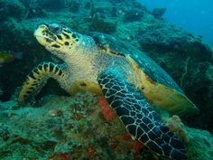 A Hawksbill turtle taken on a diving trip at Azura in Mozambique - one of the world's top diving destinations. Did you know the female turtles are nesting at the moment?