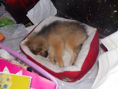 Iko is a sleepy puppy