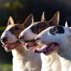 Bullterrier !! The best