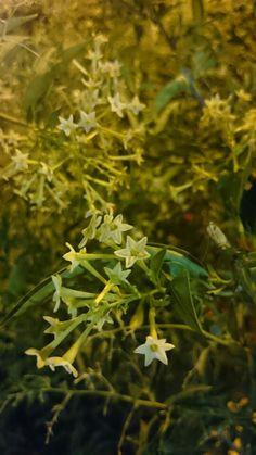 Dama de noche Herbs, Night, Flowers, Herb, Spice