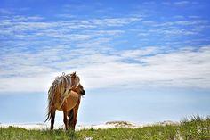 A wild horse on Sable Island, Nova Scotia, Canada.  #wild #wildhorse #feral #sable #sableisland #novascotia #canada #adventurecanada #horse #michellevalberg @adventure.canada