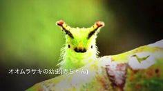 【超かわいい昆虫(insect)♪】ヤバイwww!萌え〜キュン死する!オオムラサキの幼虫(赤ちゃん)