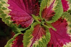 Isokirjopeippi alias värinokkonen on kiva, nopeasti kasvava viherkasvi. Tällänen tarvis jostain saada!
