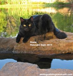 Rosie - A little black cat with a big personality. Cats Outside, Black Panther, Rescue Cats, Cute Cats, Dog Cat, Helpful Tips, Dogs, Life, Animals