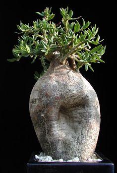 Pachypodium bispinosum found on - https://www.pinterest.com/kittysfunnies/ic-bonsai-trees/