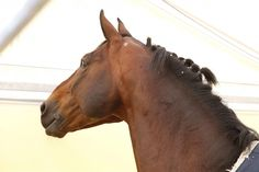 Ludger Beerbaum's Chaman tries his best to shake out his pony tails #showjumping