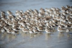 Sanderlings by Philippe Guerlet on 500px - Baja California, Mexico