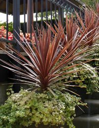 Viherliljapuu Red Star