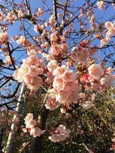寒桜のアップ