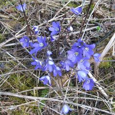 These blue beauties cover the meadows & forests in April (Common Hepatica, Anemone hepatica) Anemone Hepatica, Forests, Hanukkah, Countryside, Wreaths, Cover, Nature, Plants, Blue