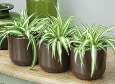 Le chlorophytum : une plante dépolluante - F.New to growing plants and no idea what you should grow indoors? Learn about these 15 Best Houseplants for Beginners.Bringing indoor plants into your home will create a nurturing and stylish environment an