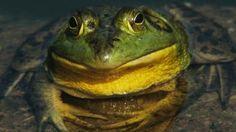 Bullfrog (Credit: Stone Nature Photography/Alamy)