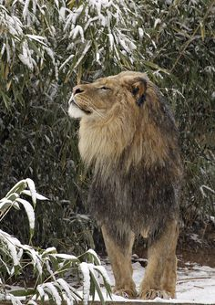 Lion at National Zoo by Smithsonian's National Zoo on Flickr.