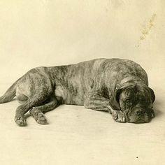 Mastiff Dog Breed Information Mastiff Dog Breeds, Akc Breeds, Mastiff Puppies For Sale, Animals, Health, Animales, Animaux, Health Care, Animal