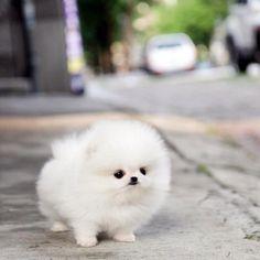 Baby teacup Pomeranian :)