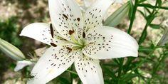 15 Gambar Bunga Lili Yang Memukau   Gambar Pemandangan Indah