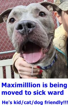 Manhattan Center MAXAMILLION – A1062467 ***SAFER : EXPERIENCED HOME / NO YOUNG CHILDREN*** MALE, GR BRINDLE / WHITE, AM PIT BULL TER MIX, 5 yrs OWNER SUR – EVALUATE, NO HOLD Reason PERS PROB Intake condition UNSPECIFIE Intake Date 01/07/2016 http://nycdogs.urgentpodr.org/maxamillion-a1062467/