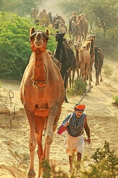 Camel herds travel for weeks sometimes to get to Asia's biggest cattle fair ~ located in Pushkar, Rajasthan, India. India alone has the largest number of camels in the Worl Camelus, Asia, Amazing India, Om Namah Shivaya, Arabian Nights, People Of The World, India Travel, Indian Art, Cattle