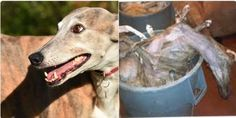 Hundreds of Greyhounds Have Been Killed Due to the Dog Racing Industry - ask current NSW premier Gladys Berejiklian to follow in Canberra's footprints and banning greyhound racing once and for all.