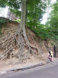 Look how deep the roots go...holds the tree sturdy and tall....a fine foundation don't you think.