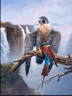 Peregrine Falcon at Victoria Falls - Andrew Ellis