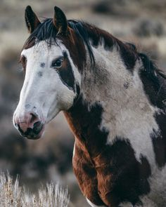 This guy reminds me of moto moto Horse Photos, Horse Pictures, Most Beautiful Animals, Beautiful Horses, Zebras, Wyoming, Rodeo, Rudyard Kipling, Majestic Horse