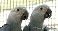 Two juvenile Spix's Macaw's