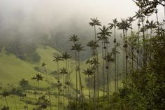 Wax Palms of Cocora Valley in Salento Colombia