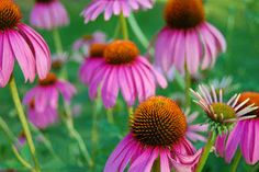 Echinacea Really Works. Echinacea, pronounced eck-uh-NAY-shuh, is an American herb. Native to the mainland United States, echinacea is not found in the wild anywhere else in the world except for a few prairies in southern Canada. Ulcer Remedies Mouth, How To Boost Your Immune System, Natural Antibiotics, Samos, Influenza, Tips Belleza, Home Remedies, Garden Plants, Korn