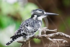 Photo about Pied Kingfisher ( Ceryle Rudis ) perched on a branch. Image of male, looking, alcedo - 31182261 Kingfisher, Southern, Africa, Birds, Animals, Image, Animales, Animaux, Common Kingfisher