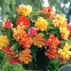 Begonia Balcony Gold produces gorgeous flowers in shades of orange, red, pink and yellow. Ideal for hanging baskets or window boxes, the Begonias graceful pendulous habit of growth will make a 'Shower Bouquet' from the colourful cascading flowers. Cascading Flowers, Shade Flowers, Bulb Flowers, Large Flowers, Flower Pots, Yellow Flowers, Hanging Baskets, Hanging Plants, Indoor Plants
