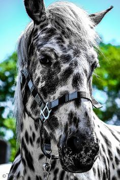 beautiful black leopard horse